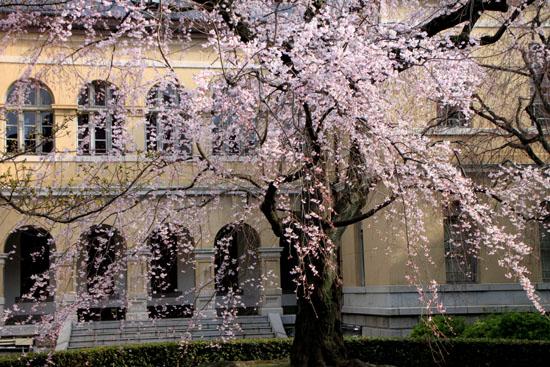 京都府庁旧本館 容保桜など_e0048413_21202298.jpg