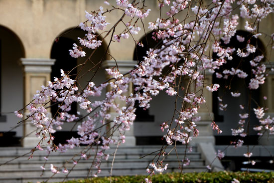 京都府庁旧本館 容保桜など_e0048413_21203378.jpg