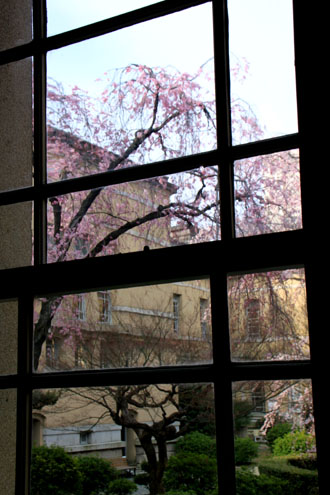 京都府庁旧本館 容保桜など_e0048413_21204315.jpg