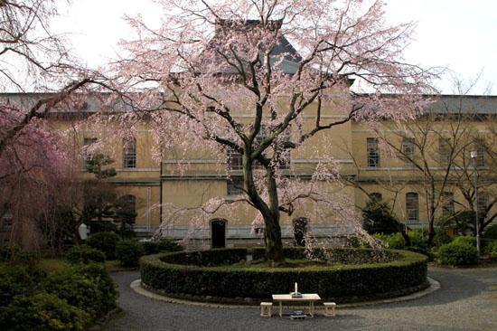京都府庁旧本館 容保桜など_e0048413_21205339.jpg