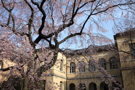 京都府庁旧本館 容保桜など_e0048413_2120981.jpg