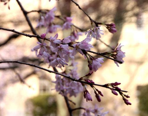 京都府庁旧本館 容保桜など_e0048413_21211774.jpg