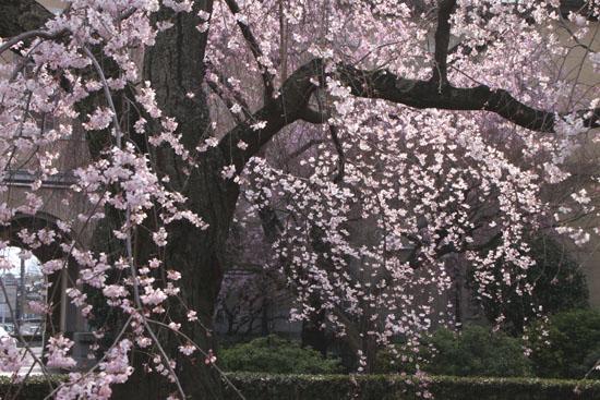 京都府庁旧本館 容保桜など_e0048413_2121856.jpg