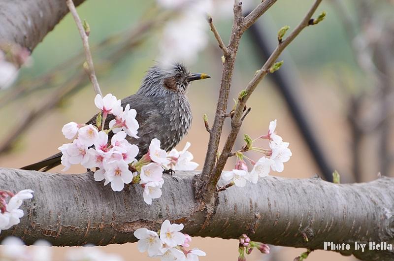 満開の桜と黄色い嘴のヒヨドリ_f0012718_1003992.jpg