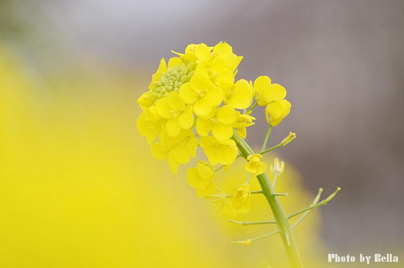 満開の桜と黄色い嘴のヒヨドリ_f0012718_10185897.jpg