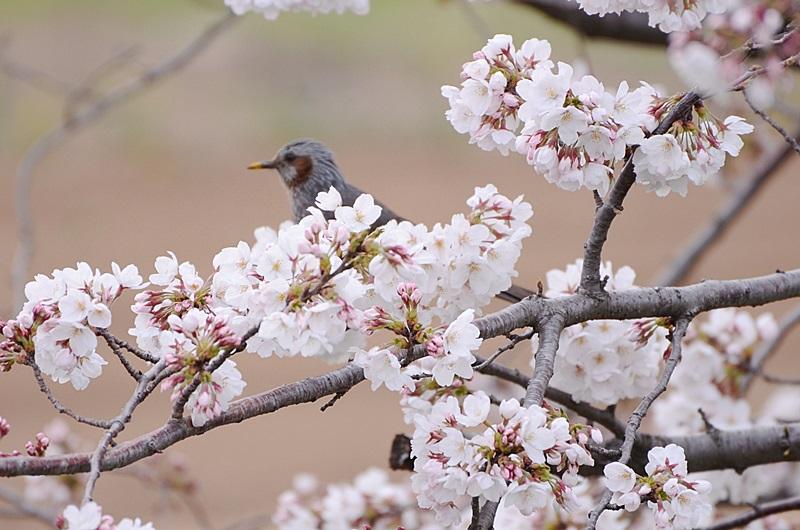 満開の桜と黄色い嘴のヒヨドリ_f0012718_10204815.jpg