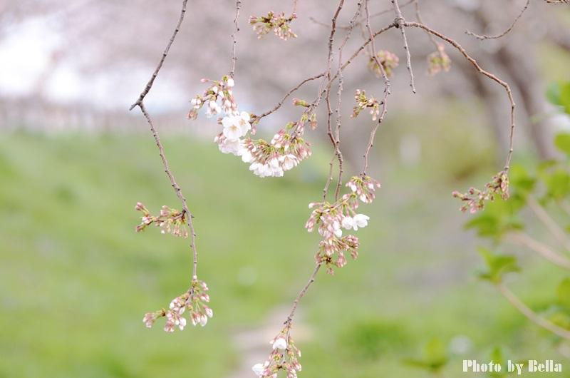 満開の桜と黄色い嘴のヒヨドリ_f0012718_1024179.jpg