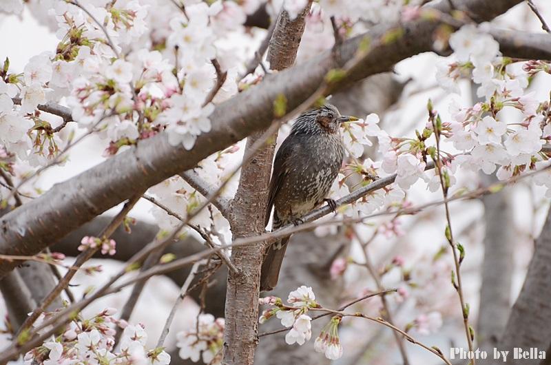 満開の桜と黄色い嘴のヒヨドリ_f0012718_10283730.jpg