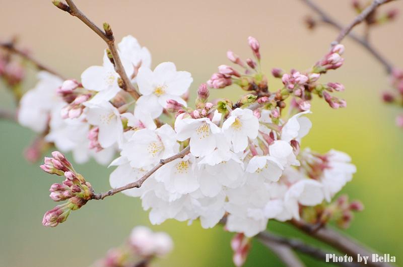 満開の桜と黄色い嘴のヒヨドリ_f0012718_1033187.jpg