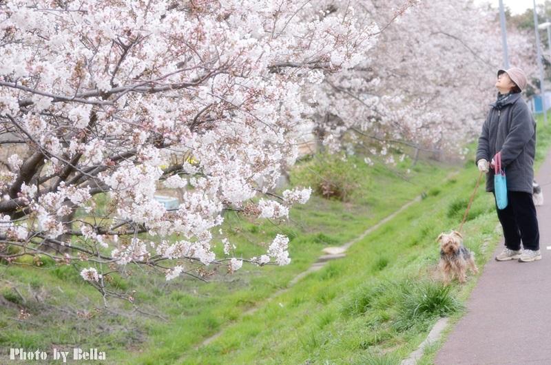 満開の桜と黄色い嘴のヒヨドリ_f0012718_10573.jpg