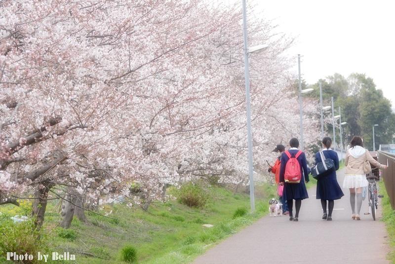 満開の桜と黄色い嘴のヒヨドリ_f0012718_107716.jpg