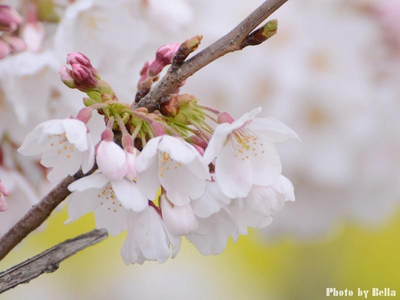 満開の桜と黄色い嘴のヒヨドリ_f0012718_1095860.jpg