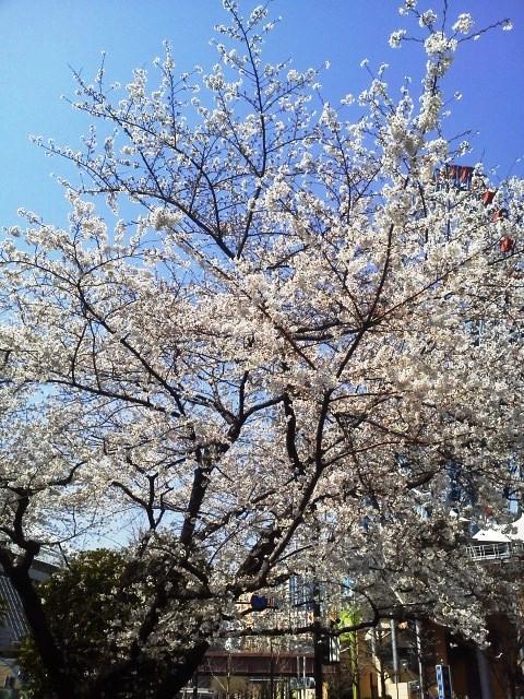 東京は桜が満開だぁ!_b0081121_6461033.jpg