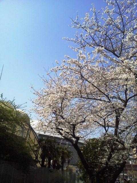 東京は桜が満開だぁ!_b0081121_6464572.jpg