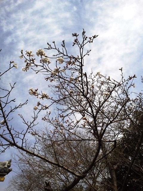 東京は桜が満開だぁ!_b0081121_6524654.jpg