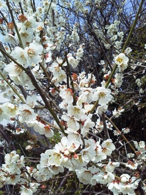 東京は桜が満開だぁ!_b0081121_654168.jpg