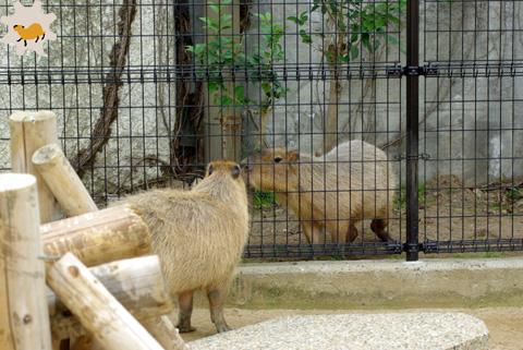 2013年3月の神戸カピバラ(上旬~中旬篇)_f0138828_23274715.jpg