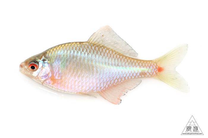 164 島根県東部 ~久々の魚類調査~_c0211532_22244491.jpg