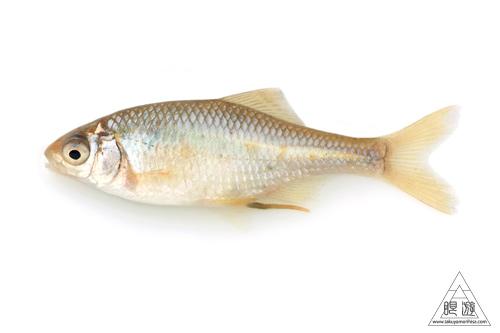 164 島根県東部 ~久々の魚類調査~_c0211532_22454410.jpg