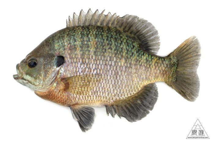 164 島根県東部 ~久々の魚類調査~_c0211532_2335559.jpg