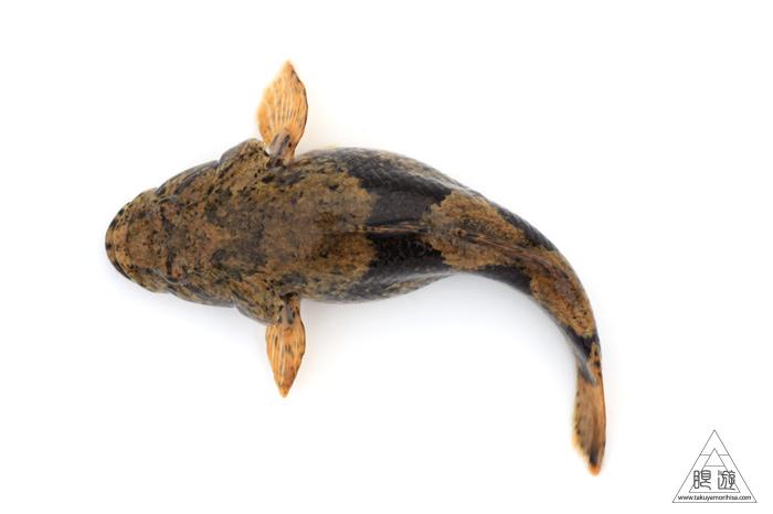 164 島根県東部 ~久々の魚類調査~_c0211532_2341728.jpg