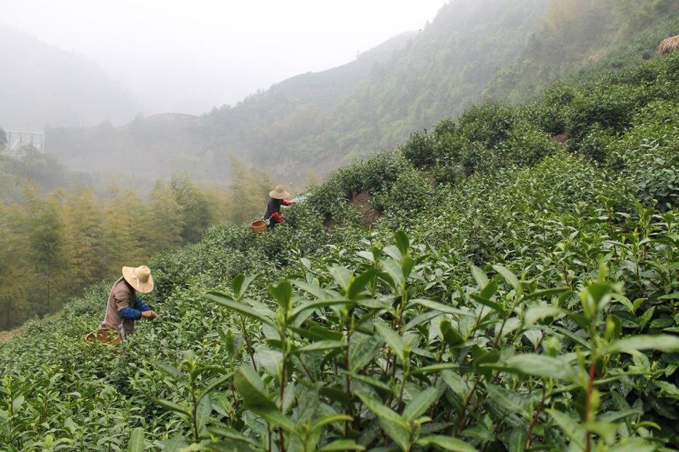 2013年新茶速報_f0070743_2317566.jpg