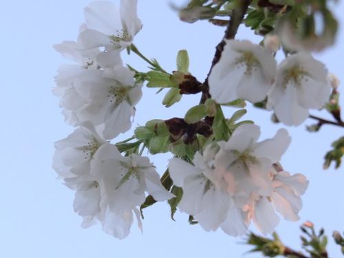 大島系山桜★_e0240147_2324470.jpg
