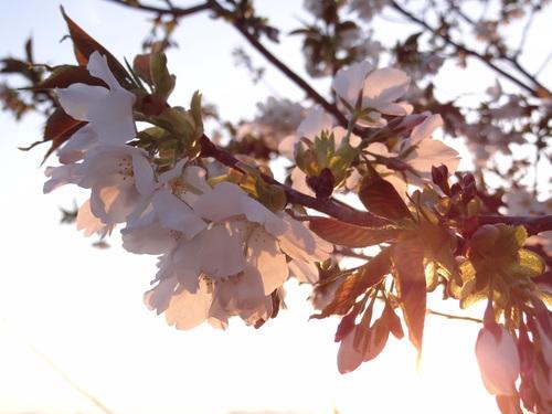 大島系山桜★_e0240147_2325674.jpg