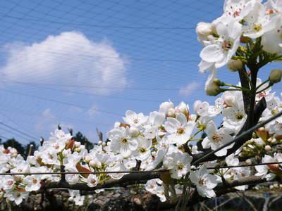 熊本梨 岩永農園 梨の花満開です!!_a0254656_17382265.jpg