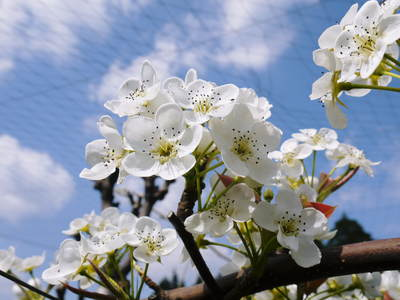 熊本梨 岩永農園 梨の花満開です!!_a0254656_17435520.jpg