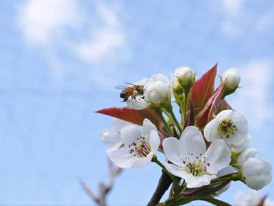 熊本梨 岩永農園 梨の花満開です!!_a0254656_18115712.jpg