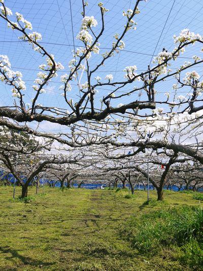 熊本梨 岩永農園 梨の花満開です!!_a0254656_184691.jpg