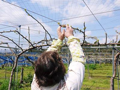 熊本梨 岩永農園 梨の花満開です!!_a0254656_1954389.jpg