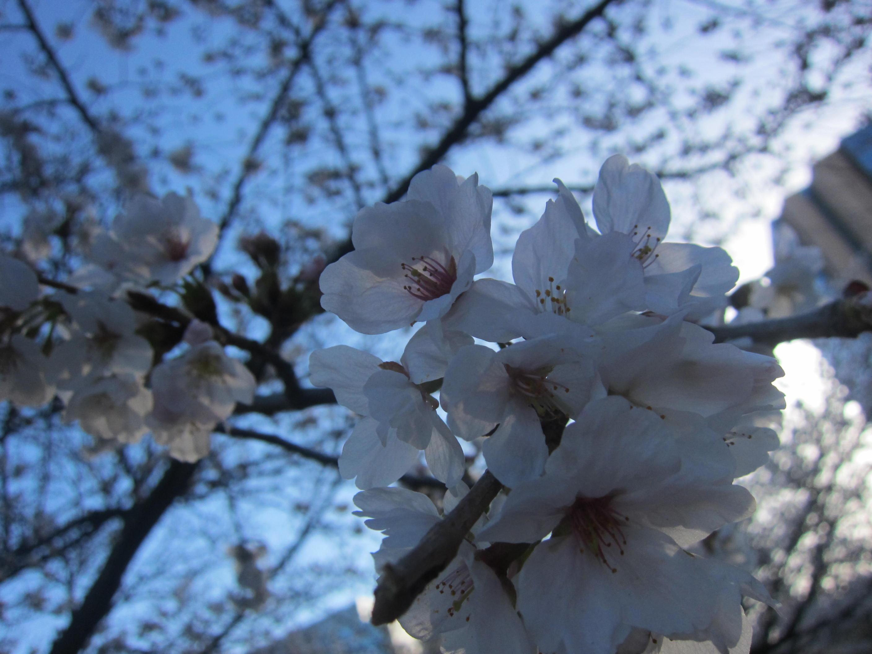 桜が...早すぎる..._b0219170_19475512.jpg