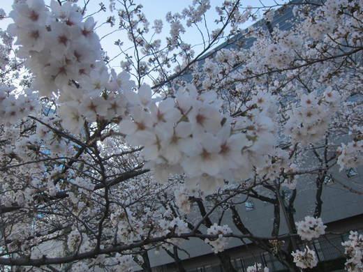 桜が...早すぎる..._b0219170_19481813.jpg