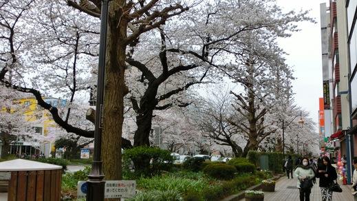 国立市は桜が満開でした!_e0093380_6243620.jpg