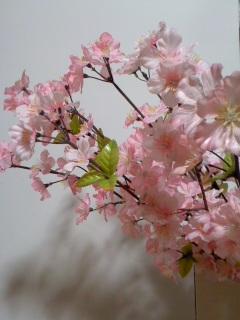 桜の季節到来/Cherry tree_d0090888_1827067.jpg
