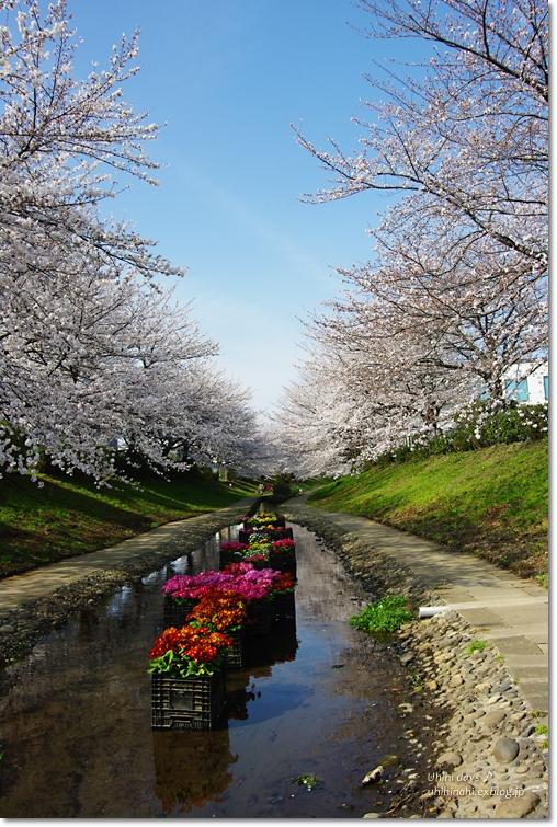 桜が咲いた~♪ 江川せせらぎ緑道2013_f0179404_6383384.jpg