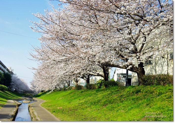 桜が咲いた~♪ 江川せせらぎ緑道2013_f0179404_6384919.jpg
