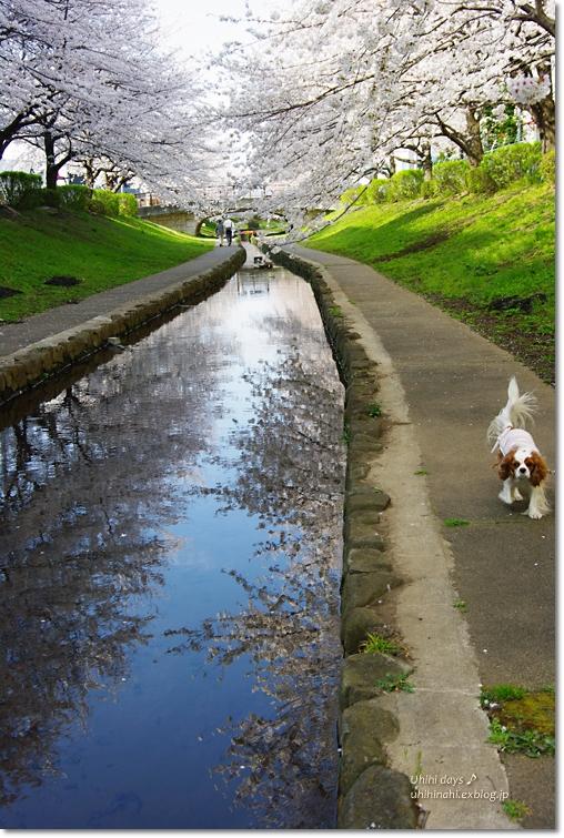 桜が咲いた~♪ 江川せせらぎ緑道2013_f0179404_639285.jpg