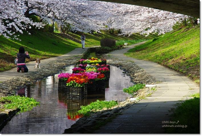 桜が咲いた~♪ 江川せせらぎ緑道2013_f0179404_6394815.jpg