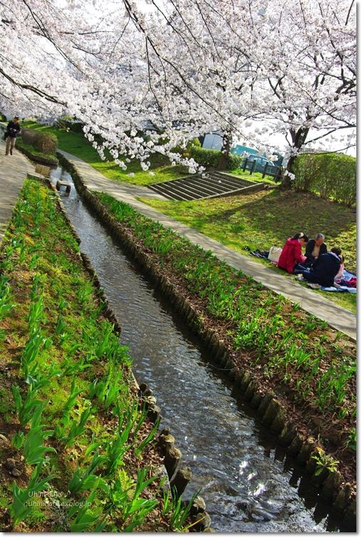 桜が咲いた~♪ 江川せせらぎ緑道2013_f0179404_6402580.jpg