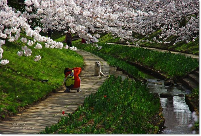 桜が咲いた~♪ 江川せせらぎ緑道2013_f0179404_6404429.jpg