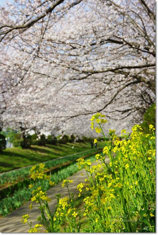 桜が咲いた~♪ 江川せせらぎ緑道2013_f0179404_640524.jpg