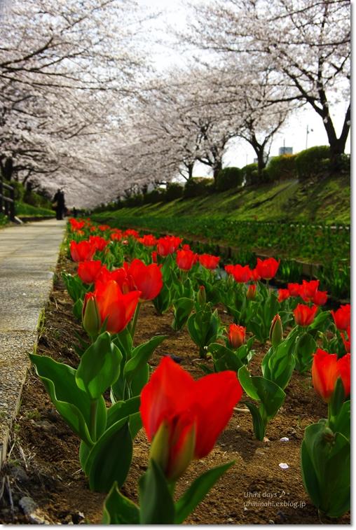 桜が咲いた~♪ 江川せせらぎ緑道2013_f0179404_6405941.jpg