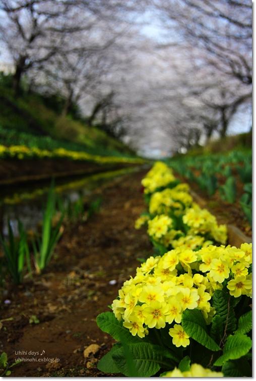 桜が咲いた~♪ 江川せせらぎ緑道2013_f0179404_6412495.jpg