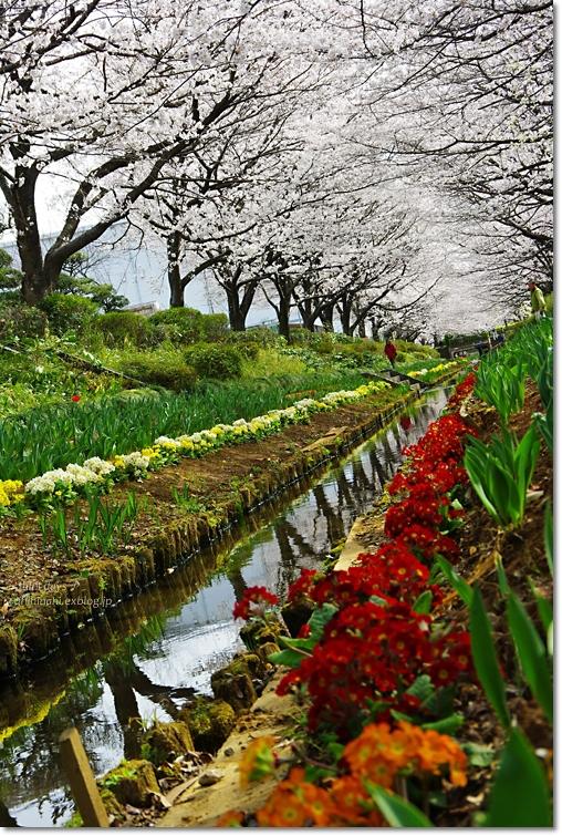 桜が咲いた~♪ 江川せせらぎ緑道2013_f0179404_641371.jpg