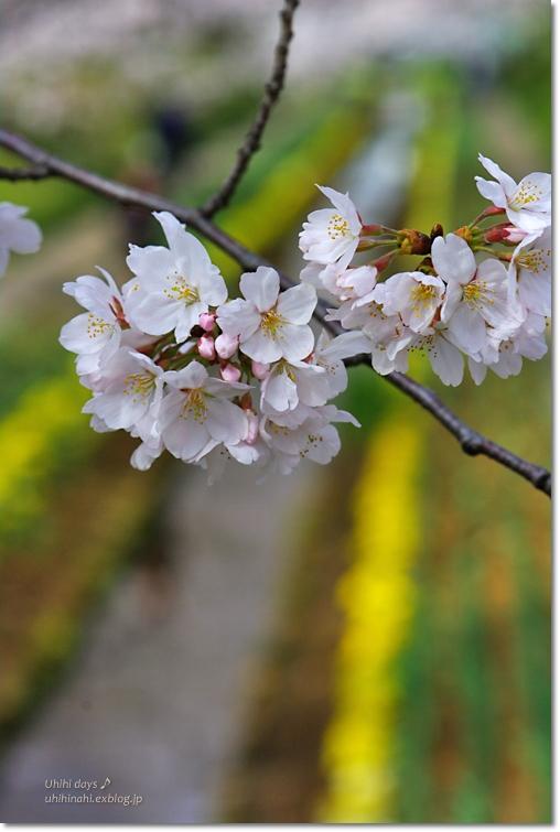 桜が咲いた~♪ 江川せせらぎ緑道2013_f0179404_6414856.jpg
