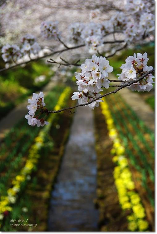 桜が咲いた~♪ 江川せせらぎ緑道2013_f0179404_641916.jpg