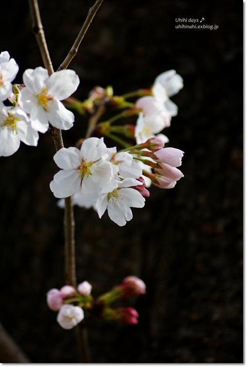 桜が咲いた~♪ 江川せせらぎ緑道2013_f0179404_642188.jpg